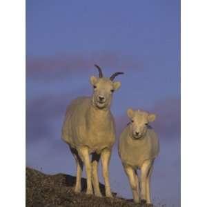 Dall Sheep Ewe and Lamb (Ovis Dalli), Denali National Park