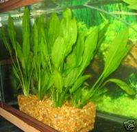 SWORD PLANT TALL Tropical Live Aquarium
