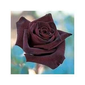 10 Dark Chocolate Rose Seeds Everything Else