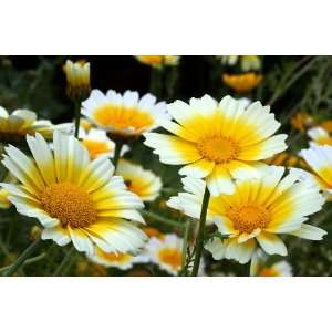 1000 GARLAND CROWN DAISY Chrysanthemum Coronarium Flower
