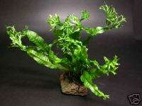 Windelov Java Fern Live Aquarium Plant Moss Fish Tank Q