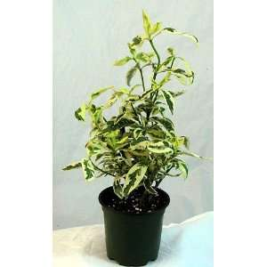 Variegated Gardenia   Cape Jasmine   Indoors/Out/Bonsai