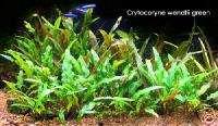 Wendtii Green x3   Fish Tank Low Light Aquarium Plant