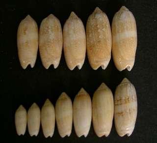 FLORIDA ATLANTIC SEASHELLS 12 Lettered Olive Sea Shells OLIVA SAYANA